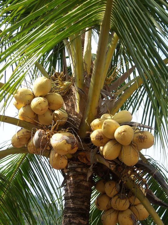 hilft kokosoel auch bei hashimoto